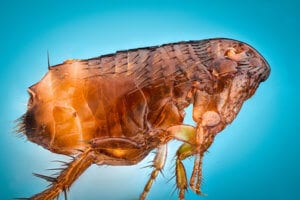 Pet fleas in your home - Useful information