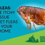 Pet fleas in your home